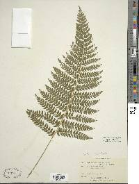 Image of Polystichum dudleyi