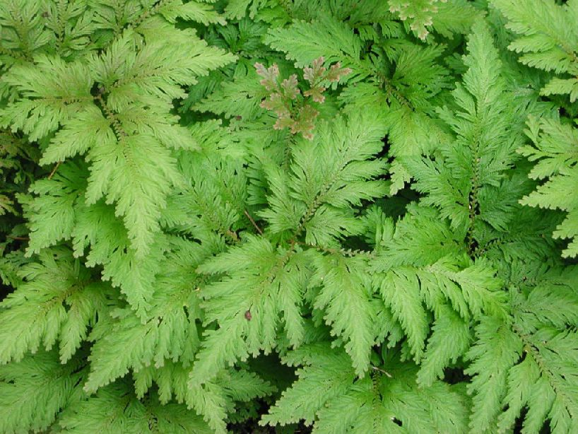 Selaginella anceps