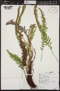 Image of Polystichum imbricans