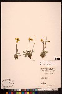 Image of Papaver gorodkovii