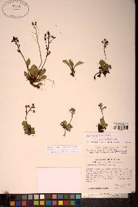 Image of Micranthes calycina
