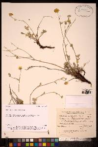 Image of Potentilla anachoretica