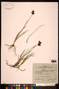 Image of Juncus prominens