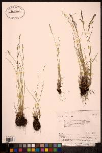 Image of Poa altaica