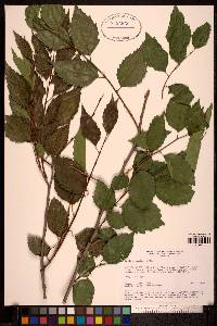 Image of Celtis caucasica