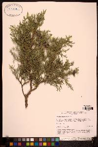 Image of Juniperus seravschanica