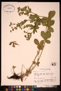 Image of Potentilla chrysantha