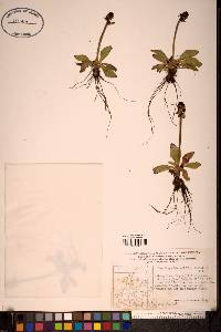 Image of Micranthes hieracifolia