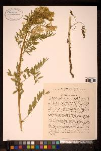 Image of Astragalus chinensis