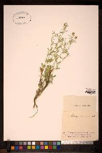 Image of Medicago cancellata