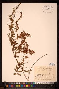 Image of Vicia amoena