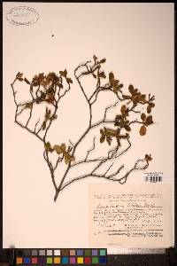 Image of Rhododendron ledebourii