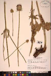 Image of Dipsacus dipsacoides