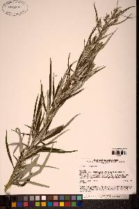 Image of Artemisia rubripes