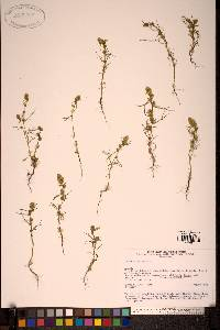 Image of Artemisia palustris