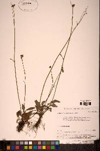 Image of Crepis multicaulis