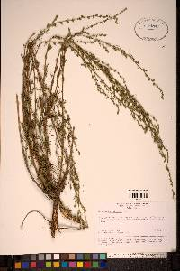 Image of Artemisia marschalliana
