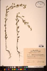 Image of Artemisia sieversiana