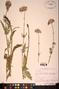 Image of Scabiosa songarica