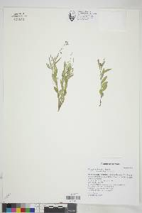 Polygala obscura image