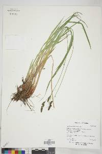 Carex endlichii image