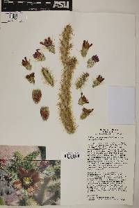 Image of Cylindropuntia alcahes