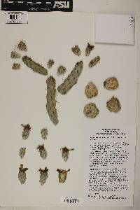 Cylindropuntia alcahes var. alcahes image