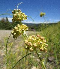 Image of Asclepias rusbyi