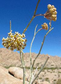 Image of Asclepias albicans