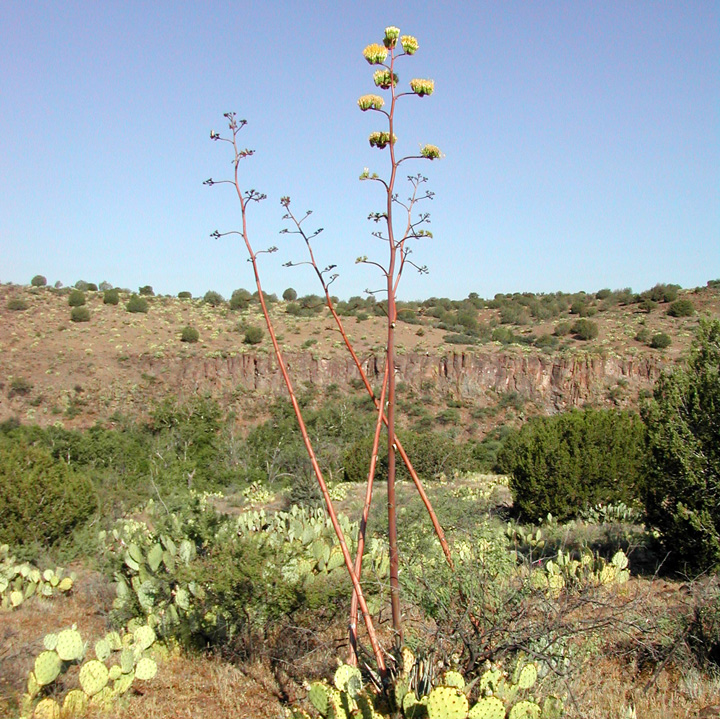 Agave verdensis image