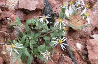Image of Aster wasatchensis