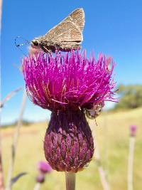Image of Cirsium grahamii