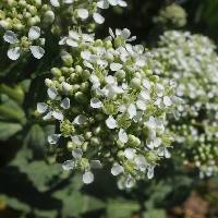Image of Lepidium draba