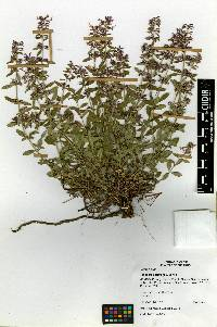 Image of Hedeoma patens