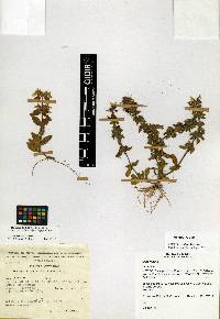 Image of Stachys venulosa