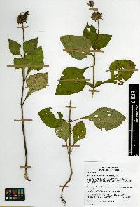 Image of Salvia clinopodioides