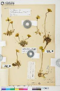 Image of Papaver lapponicum