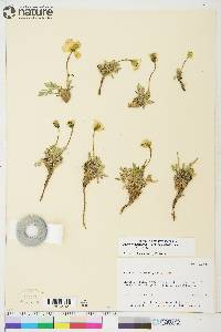 Image of Papaver kluanense