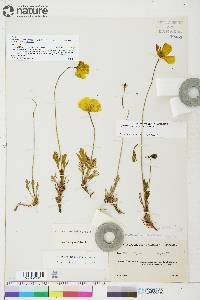 Image of Papaver keelei