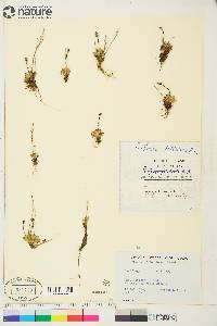 Image of Micranthes foliolosa