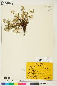 Image of Potentilla bimundorum