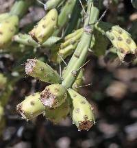 Cylindropuntia arbuscula image