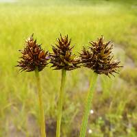 Image of Carex illota