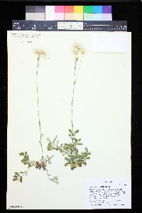 Antennaria neglecta image
