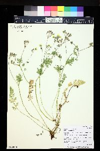 Image of Erodium chrysanthum
