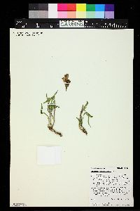 Penstemon strictiformis image