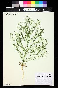 Aliciella pinnatifida image