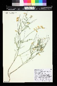 Image of Astragalus flexuosus