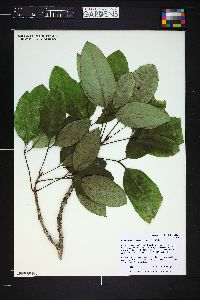 Cheirodendron trigynum image