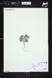Physaria rollinsii image
